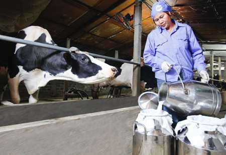 Tuyển 02 nữ làm chăn nuôi bò sữa tại tỉnh Nagasaki Nhật Bản