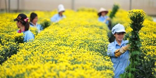 Tuyển 2 nữ làm nông nghiệp trồng hoa cúc tại tỉnh Aichi Nhật Bản