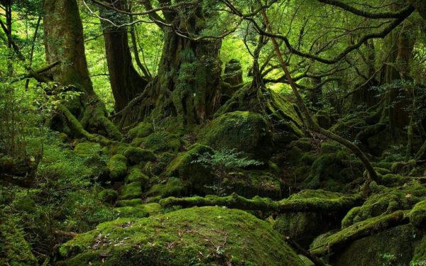 rung-mua-yakushima